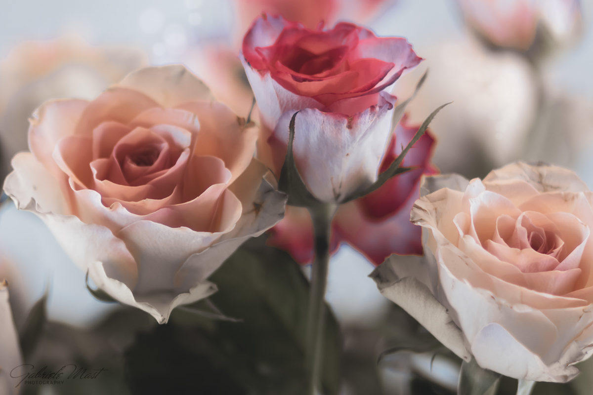 Ein Rosenfoto